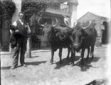 Pair of oxen in front of Clifton Park Hotel, Old Route 146 and Route 9, Clifton Park Village, NY,...