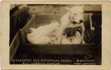 Wyandotte Hen Mothering Seven Bull Terrier Puppies. © by A. Culet, Great Neck, N.Y. (I)