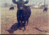 Angus cow, Wicks farm, 1958
