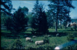 Malcolm place with sheep,1960