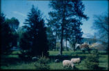 Malcolm house with sheep grazing, 1960s
