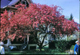 [Crab Apple Tree]