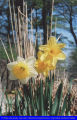 Daffodil Project Garden, Southaven County Park