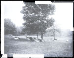 Sheep in Sheep Meadow, Central Park, New York City, undated.