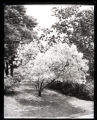 [Unidentified ornamental tree in park or botanical gardens, undated.]