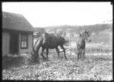 Horse and foal grazing near a small wooden house, undated (ca. 1911-1921).