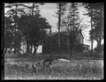 Goats grazing with an unidentified house in the background, undated.