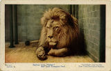 "Barbary lion, ""Sultan."" New York Zoological Park"