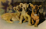 Babies in the Bronx Zoo--Two lions and a tiger, New York Zoological Park