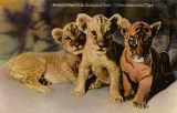 Babies in New York Zoological Park--Two lions and a tiger