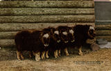 Herd of young musk ox New York Zoological Park