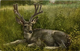 Mule deer. Antlers in velvet. New York Zoological Park