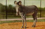 Grevey zebra. New York Zoological Park