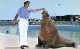 Largest walrus in captivity